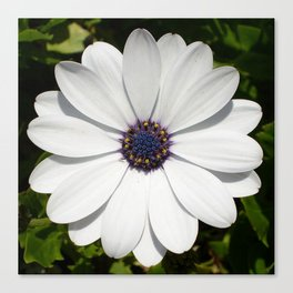 Beautiful Blossoming White Osteospermum  Canvas Print