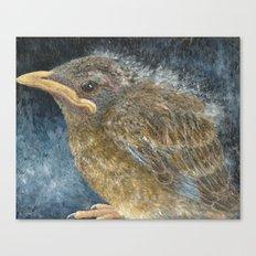 Robin Fledgling Canvas Print