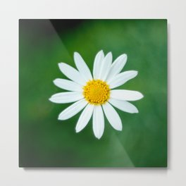 Close-up Photography of White Daisy Flower in Bloom Metal Print