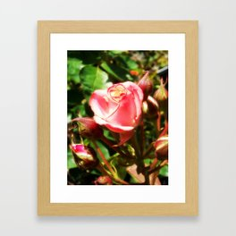 Natural Beauty • Point Defiance Rose Gardens • Tacoma, WA Framed Art Print