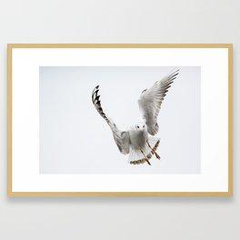 Flying black-headed gull Framed Art Print