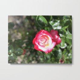 Double delight portrait rose Metal Print