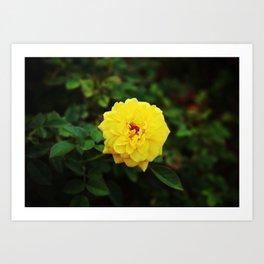 Autumn Yellow Rose Art Print