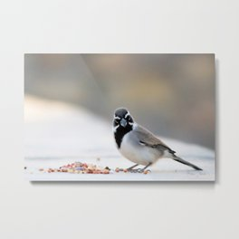 Black Chinned Sparrow-Barbara Chichester Metal Print