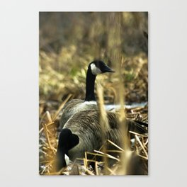 Goose Gathering Canvas Print