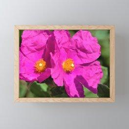Papery Pinky Purple Rockrose by Reay of Light Photography Framed Mini Art Print