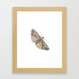 Montana Six-plumed Moth (Alucita montana) Framed Art Print
