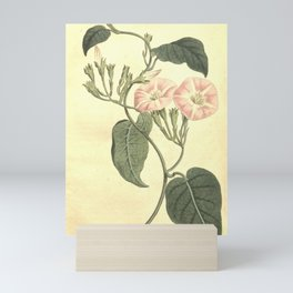 Flower 1228 convolvulus canariensis Canary Bindweed10 Mini Art Print