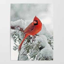 Cardinal on Snowy Branch (sq) Poster