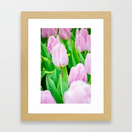 Pink tulips growing in the garden on flowerbed. Shallow depth of field. Focus on the left tulip. Framed Art Print