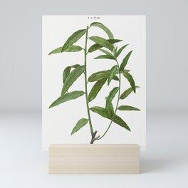 Basket willow Salix viminalis from Traite des Arbres et Arbustes que lon cultive en France en pleine Mini Art Print