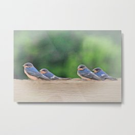 Barn Swallows First Flight Metal Print