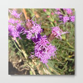 Watercolor Flower, Wild Bergomot 02, Boulder, Colorado Metal Print
