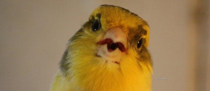 Singing Canary Coffee Mug