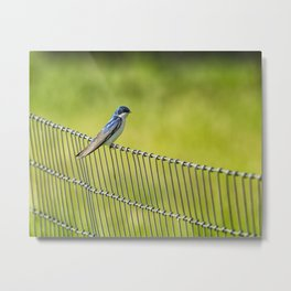 Tree Swallow Sitting on a Fence Metal Print