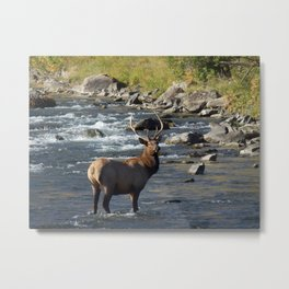 Yellowstone Bull Elk Metal Print