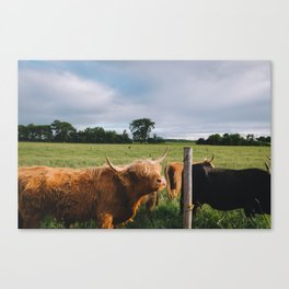 Highland Cows III Canvas Print