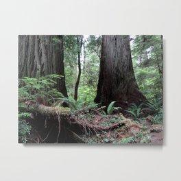 Coast Redwoods Rainforest 03 Metal Print