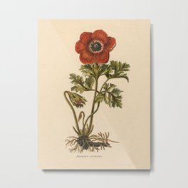 1800s Encyclopedia Lithograph of Anemone Flower Metal Print