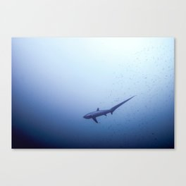 Thresher shark in the blue Canvas Print
