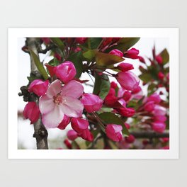 Spring blossoms - Strawberry Parfait Crabapple Art Print