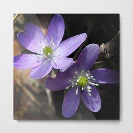 Woodland hepatica in spring Metal Print