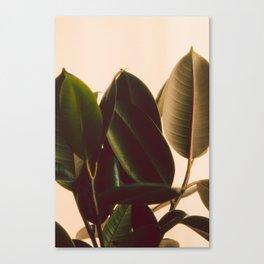 Rubber Plant White Background Canvas Print