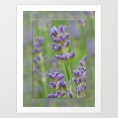Lavender from Brittany Art Print