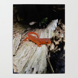 Red Newt Poster