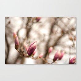 Magnolia Buds Canvas Print