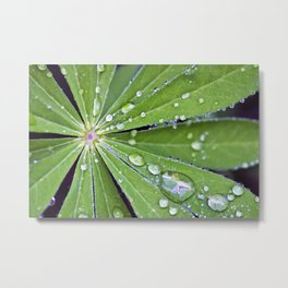Raindrops on a Lupin Leaf Metal Print