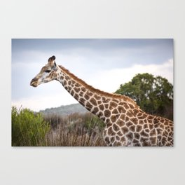 Beautiful close-up of Giraffe in South Africa Canvas Print