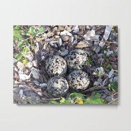 Killdeer eggs in nest Metal Print
