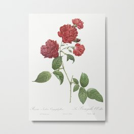 Red Cabbage Rose also known as Bengal eyelet (Rosa indica caryophyllea) from Les Roses (1817-1824) by Metal Print
