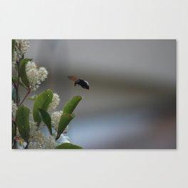 Carpenter Bee Landing Canvas Print