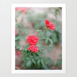 Church of Saint Anne's Gardens Blooms / Holy Land Fine Art Film Photography Art Print