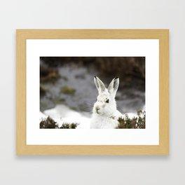 white mountain hare Framed Art Print
