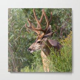 Watercolor Deer, Mule 19, Estes Park, Colorado, Velvet Splendor Metal Print