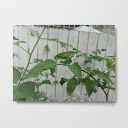Spot the Curve-tailed Bush Katydid Grasshopper on Tomato Plant 2 Metal Print