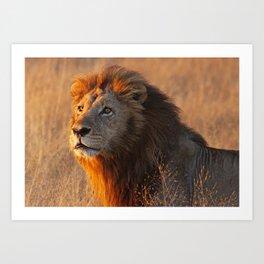 Lion in the morning light, Africa wildlife Art Print