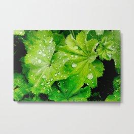 Lady's Mantle Flower Metal Print