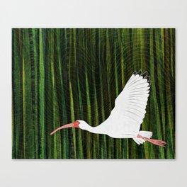 American White Ibis In Flight Canvas Print