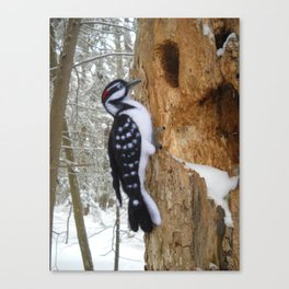 Hairy Woodpecker in the Maine Woods Canvas Print