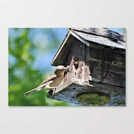 Tasty Bite for Baby Bird Canvas Print