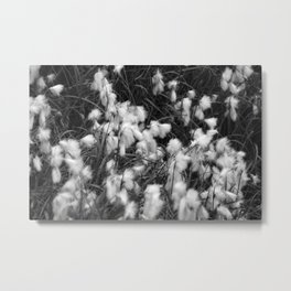 Blooming White Cottongrass Alpine Flowers Metal Print