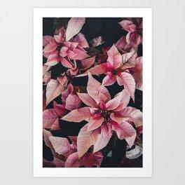 Pink Poinsettia Art Print