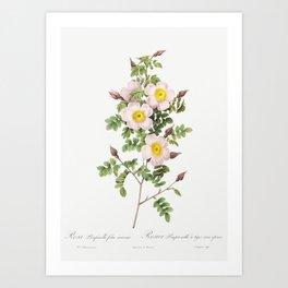 Rosa pimpinellifolia also known as Burnet Rose (Rosa pimpinelli-folia inermis) from Les Roses (1817- Art Print