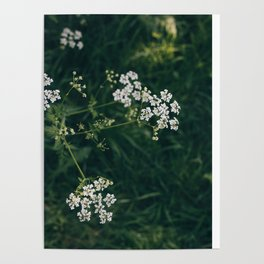 Wild Parsley Poster