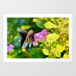 Beautiful Pipevine Swallowtale Butterfly Art Print