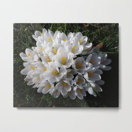 WHITE SPRING CROCUSES Metal Print